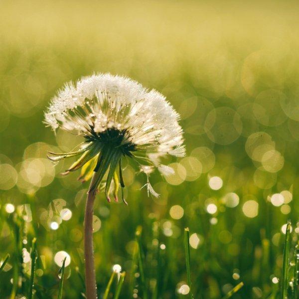 pollensäsong gräs
